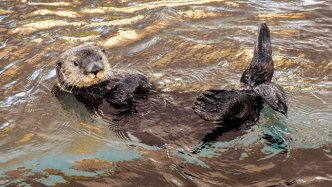 A sea otter lies on it's back at the water's surface with its feet in the air and hands on it's chest, head facing the camera.