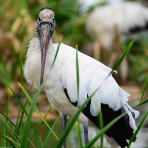 Wood Stork of Florida photo taken out side of Mimi beach.