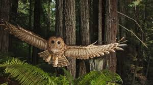 Spotted Owl Of The Pacific Northwest Facts