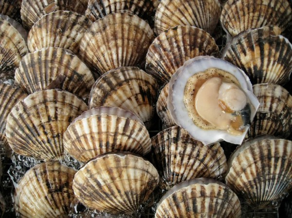 Making Even Better Decisions About Sea Scallop Harvests ...