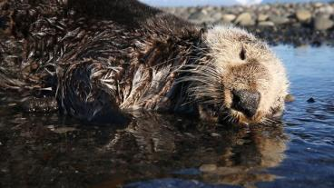 160812-ngm-pacific-coast-blob-otters_mm8323_640x360_742857795709[1]