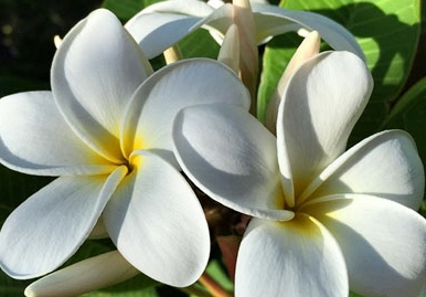 picture-of-hawaiian-flowers-hawaiis-popular-tropical-flowers-and-how-to-wear-them[1]