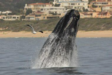 Whale_breaching_ocean_safaris_Plettenbergbay-2-1024x682