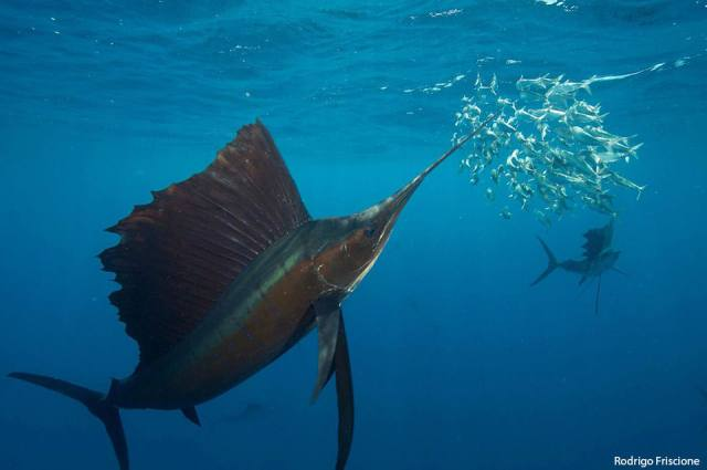 ​Sailfish hunting sardines in the open ocean off the coast of Mexico. Image courtesy of Rodrigo Friscione