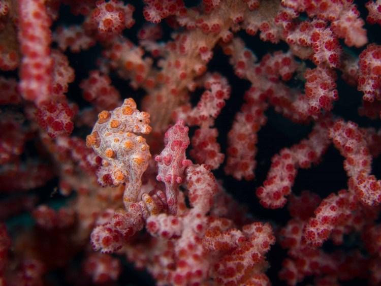 Underwater macro photography: pygmy seahorse