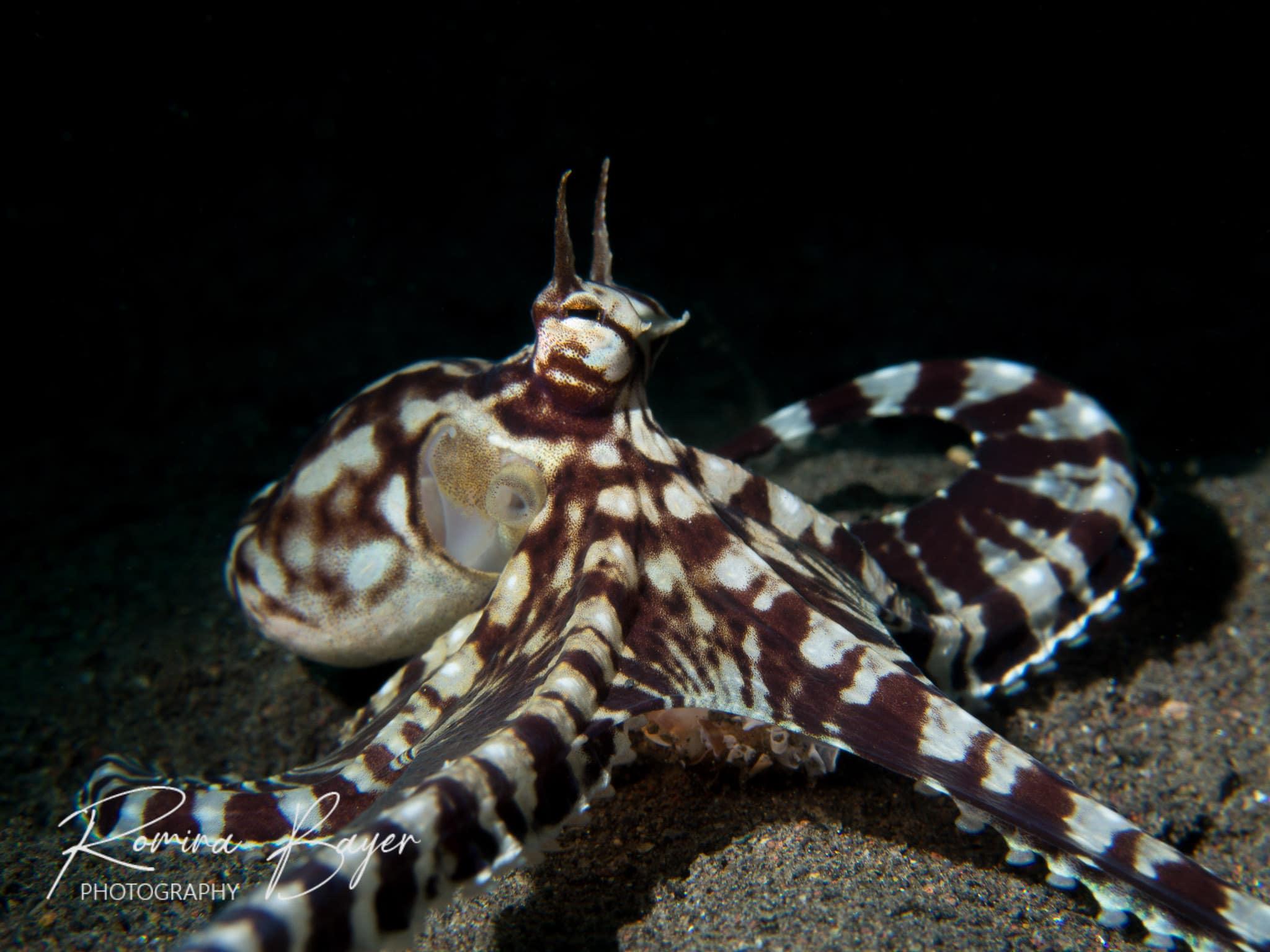 Mimic octopus