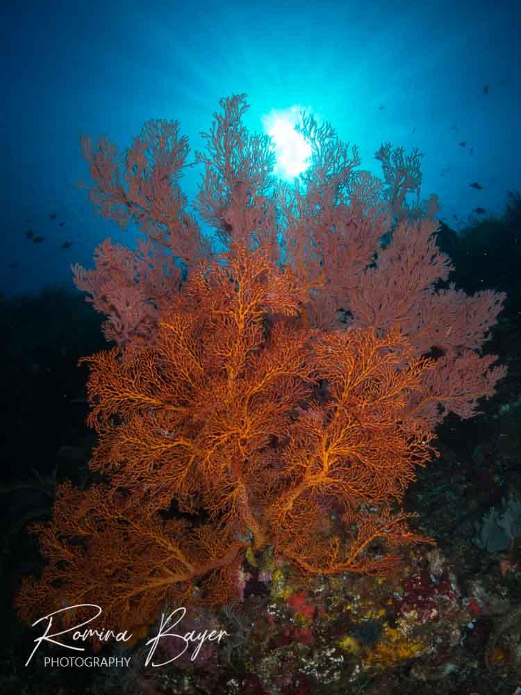 Gorgonian seafan in the ocean