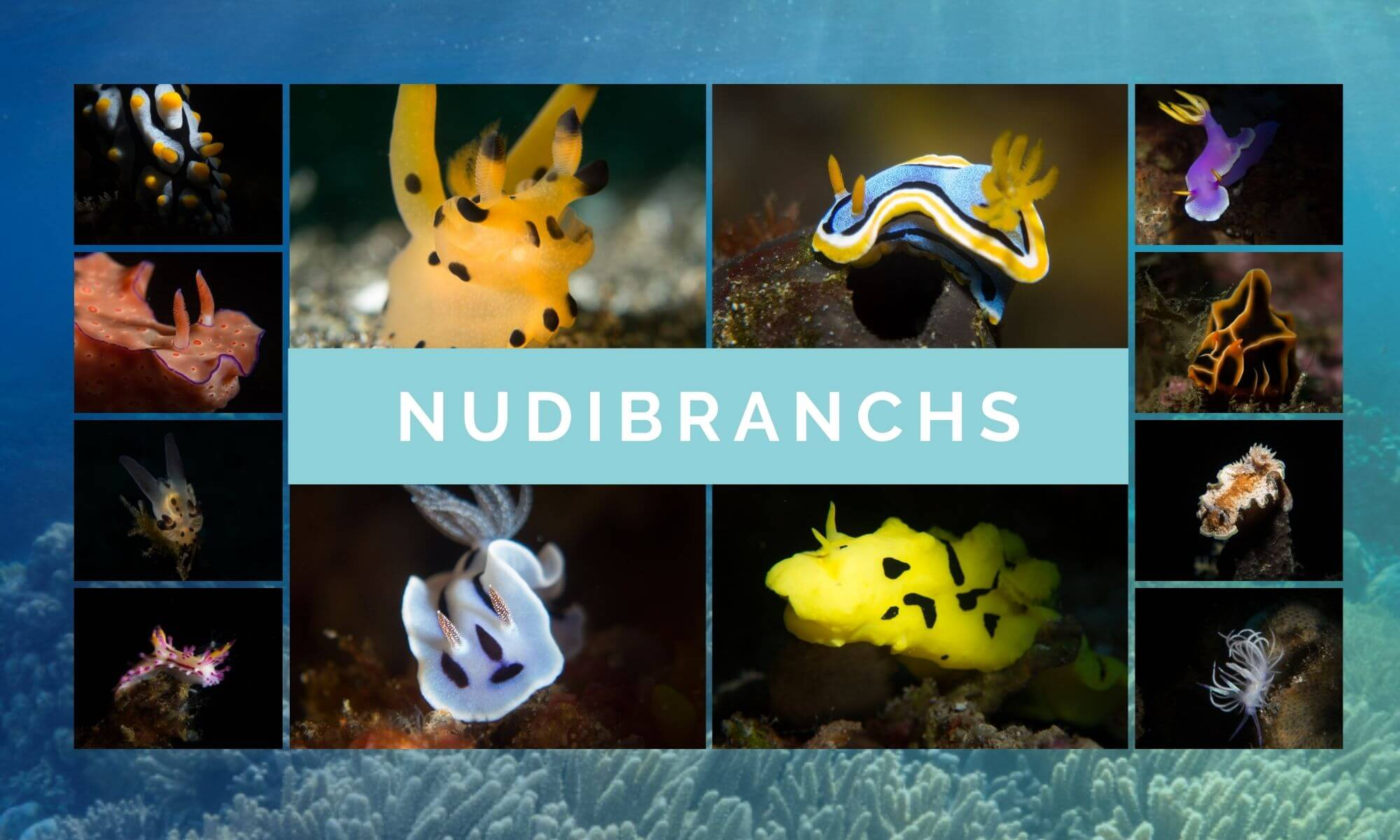 Marine Life Nudibranchs