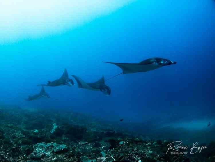 Reef Manta rays train on reef