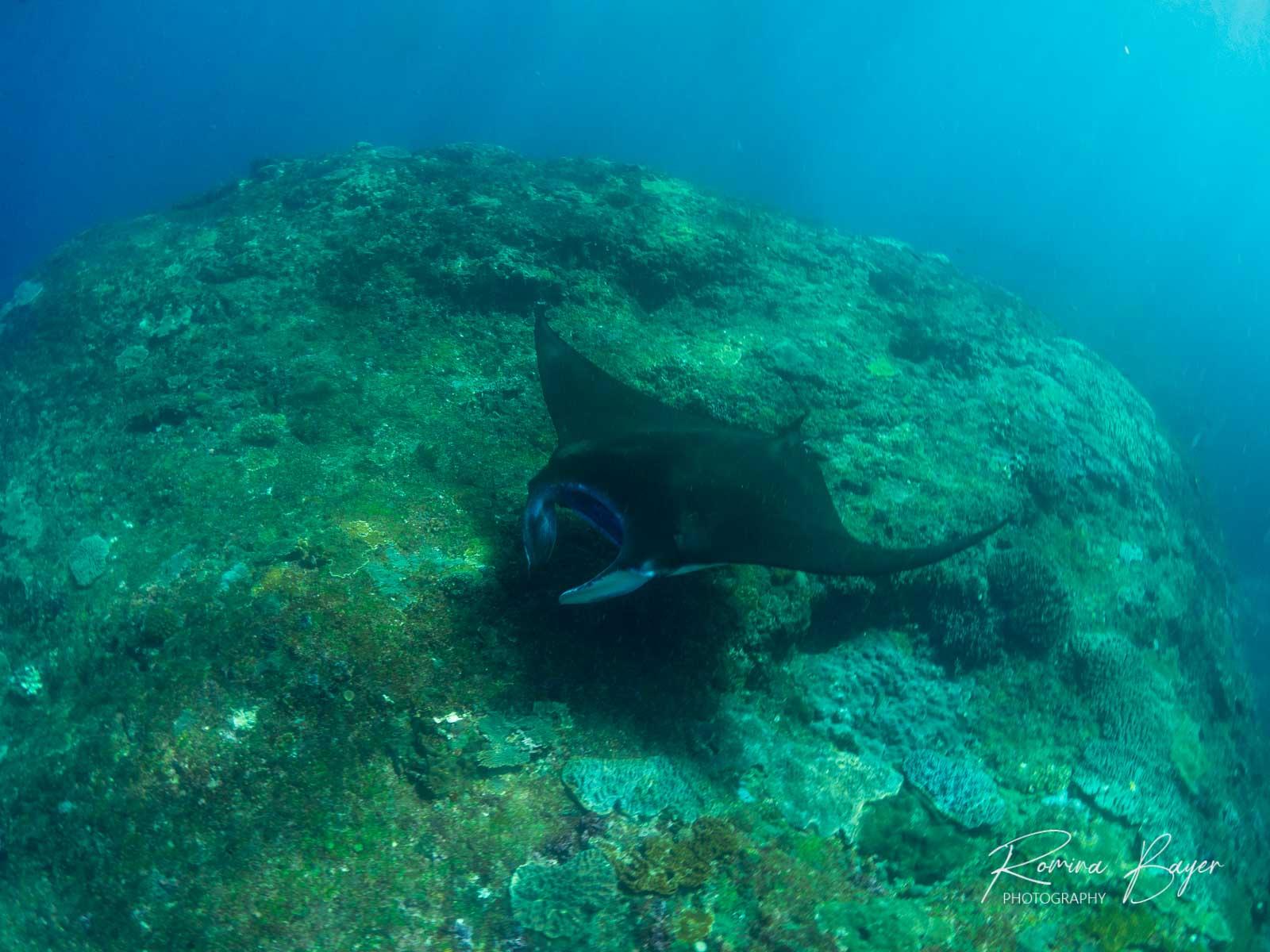 Reef Manta ray on underwater pinnacle