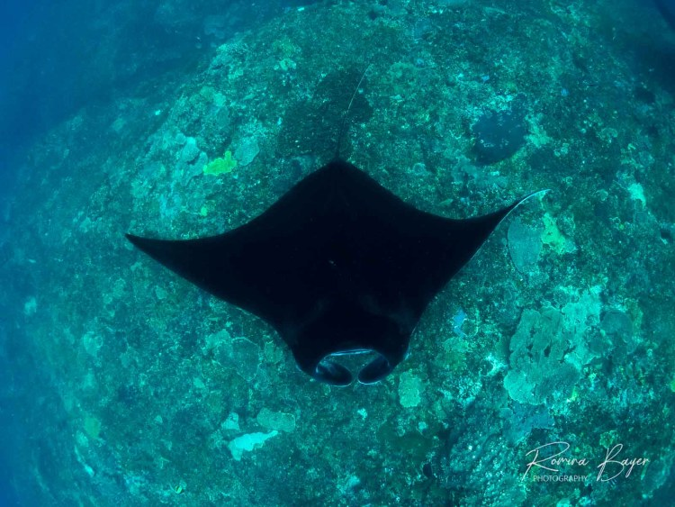 Reef Manta ray from above