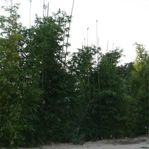 Bambusa oldhamii- Giant Timber Bamboo