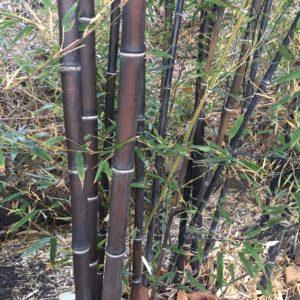 Phyllostachys nigra 'Daikokuchiku'-Giant Black Bamboo