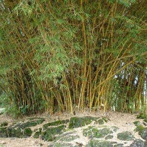 Bambusa vulgaris 'Vittata'- Golden Hawaiian Bamboo
