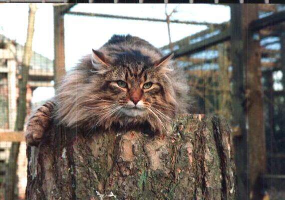 Skovkatte