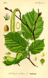 220px-Illustration_Corylus_avellana0