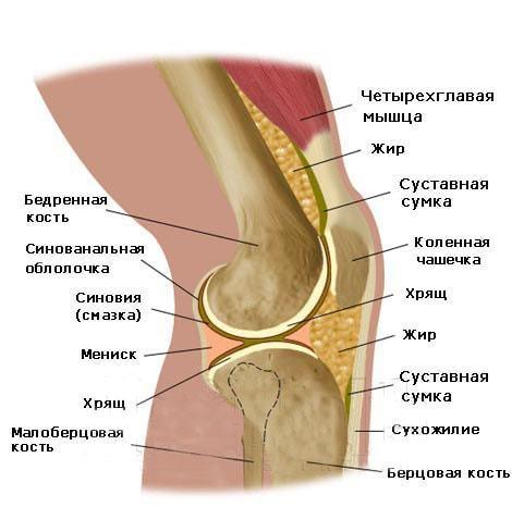 Утонченный хрящ коленного сустава кость черепа связана с суставом нижней челюстью