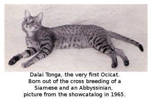 Tonga The First ocicat