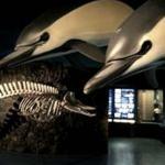 Canary Cetacean Museum (Puerto Calero)