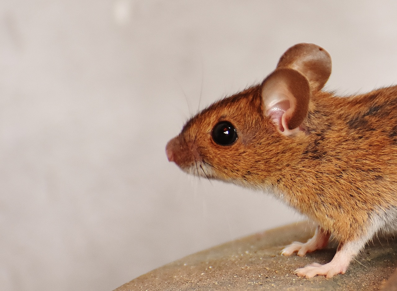 Há um rato na sala