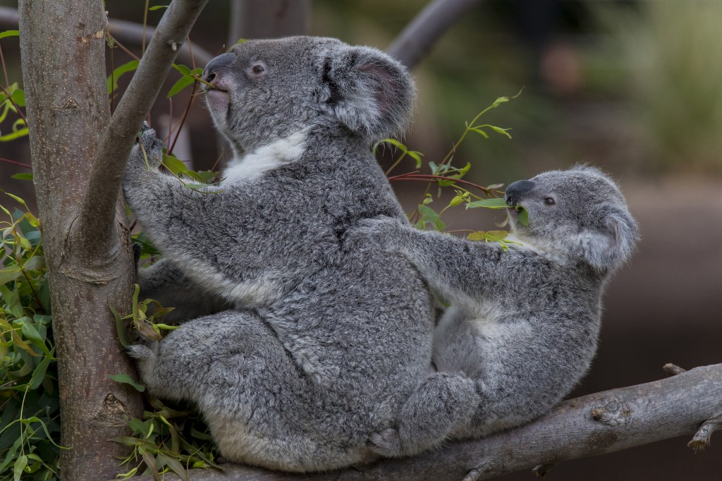 Koalas at the San Diego Zoo Get a New HomeConrad Prebys Australian Outback Opens May 24