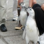 Two Magellanic Penguins Made their Debut at The Aquarium of the Pacific