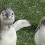 Aquarium of the Pacific Magellanic Penguins Children's Writing Contest