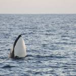 Orca Whales Spotted off The Coast of Orange County