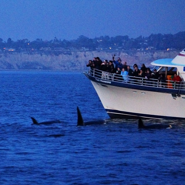 Orca-Whales-Harbor-Breeze-Cruises