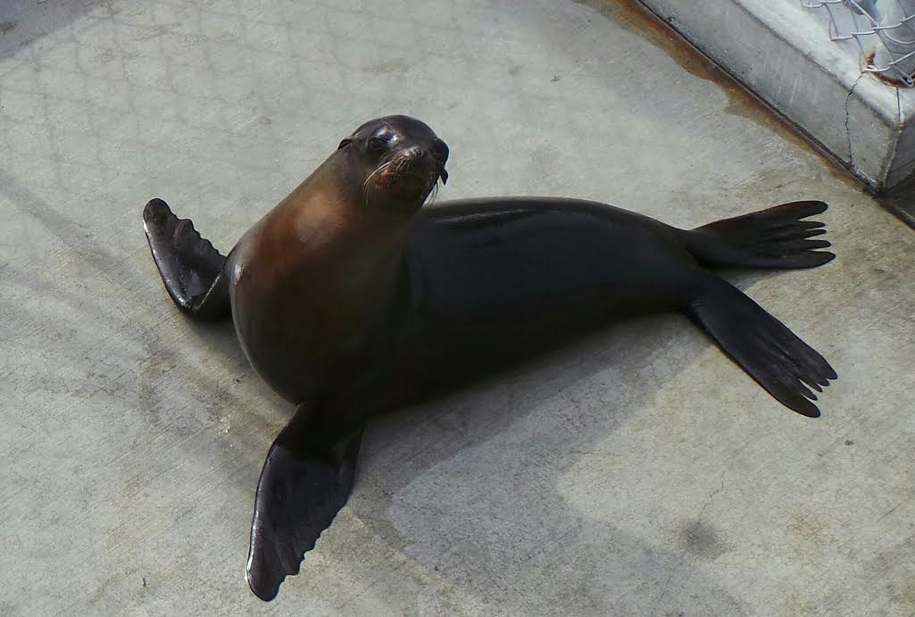 sea-lion-pacific-marine-mammal-center