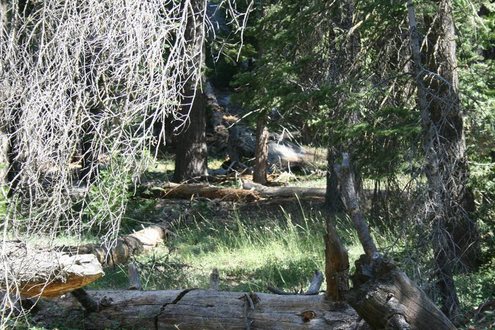 Bear sleeping at the Sequoia National Forest