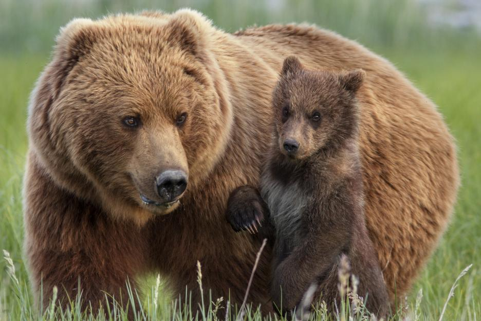 Disneynature-bears-1