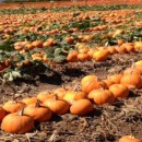 Five Best Pumpkin Patches in Orange County