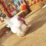 Gobble Wobble Days at Zoomars Petting Zoo