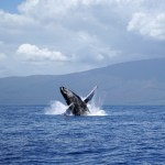 Educational and Unforgettable Whale Watching with Jean-Michel Cousteau's Ambassadors of the Environment