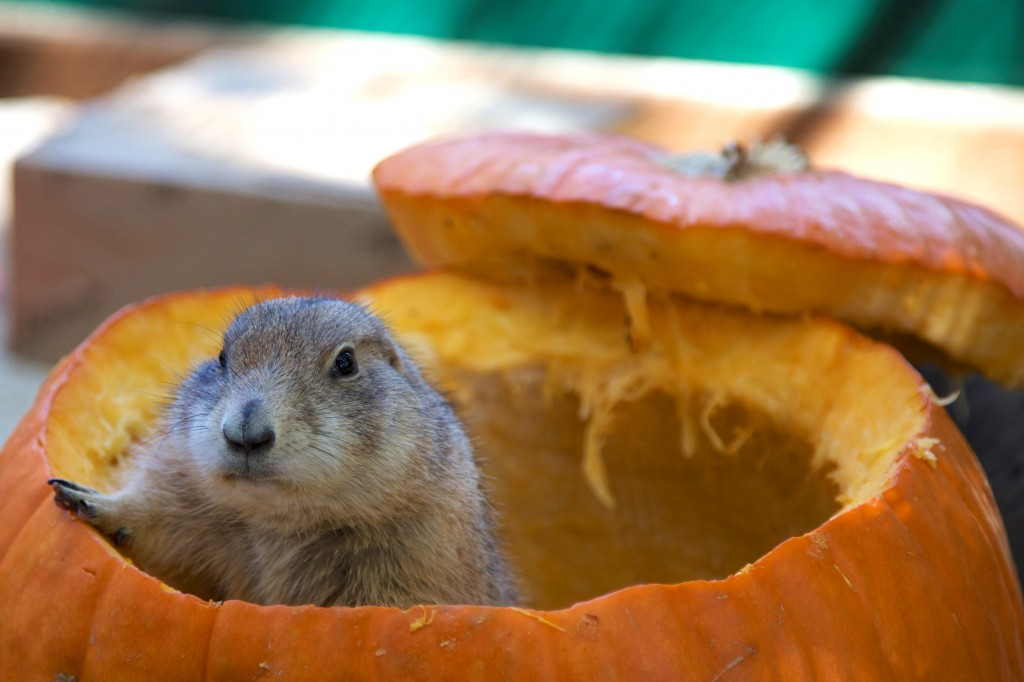 Cute animal playing in a pumpkin at the OC Zoo