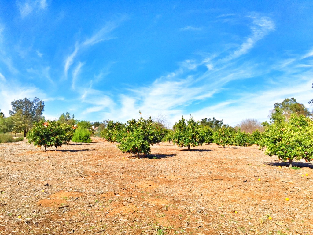 Orange Groves