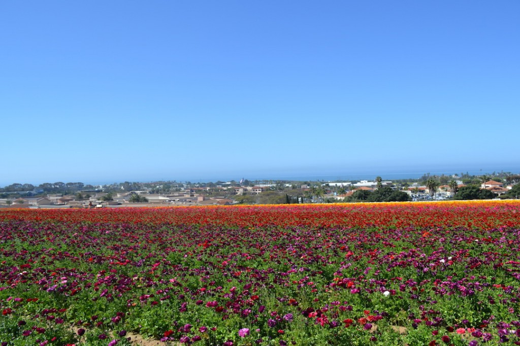 flower fields with ocean view