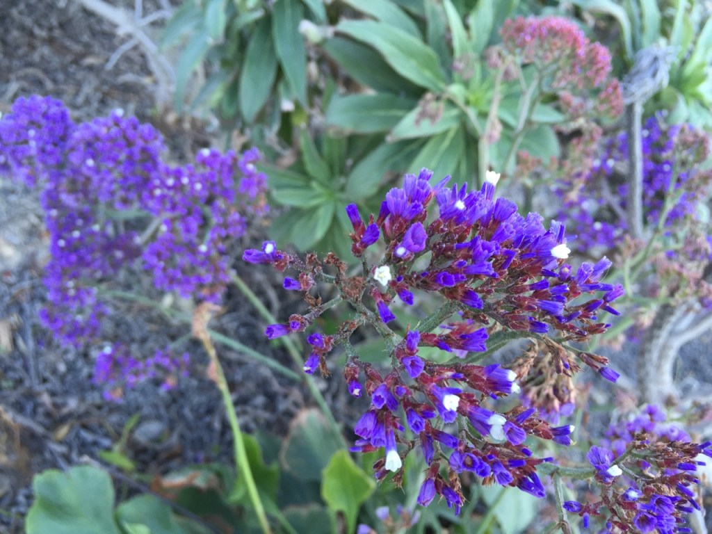 wildflowers in laguna beach