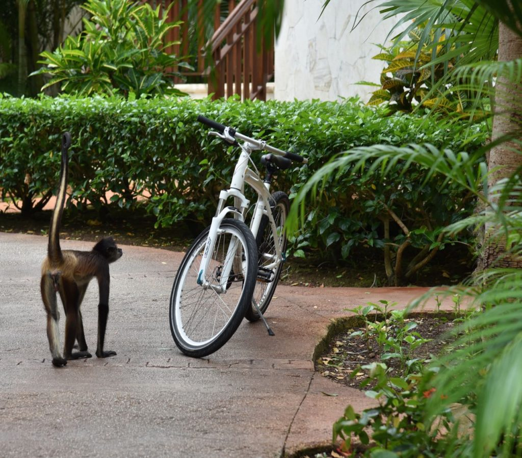 Wild monkey attempting to ride a bike