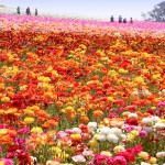 The Carlsbad Flower Fields are Ready to Bloom