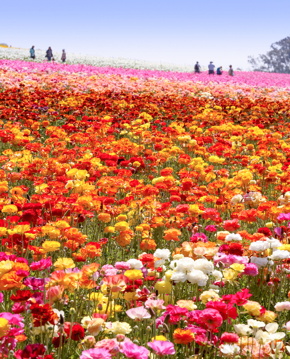 Jump Into 50 U201cAcres Of Awesomeu201d Starting March 1st When Vibrant Tecolote  Ranunculus Flowers Adorn The Rolling Hillsides Of The Flower Fields At  Carlsbad ...