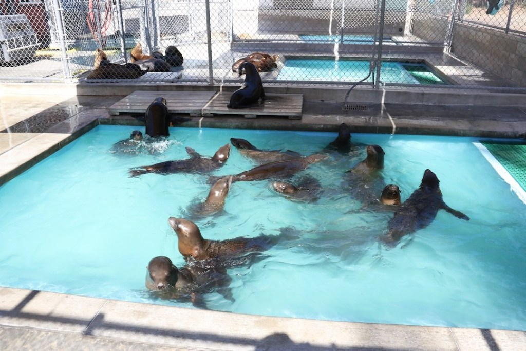 Sea Lions at the Pacific Marine Mammal Center