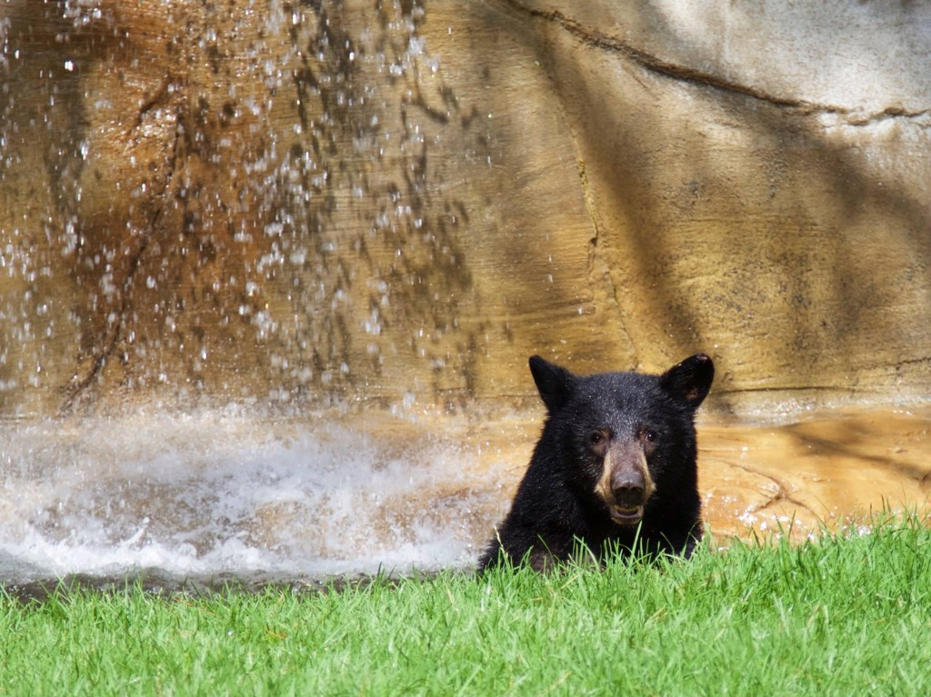 Bear Awareness at OC Parks