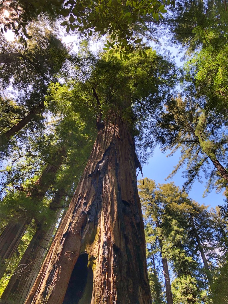 Santa Rosa Redwoods hiking trail