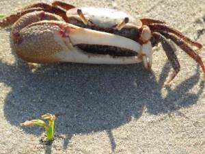 Fidler crab IMG_0002