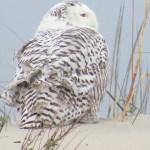 Snowy Owl on Ocracoke