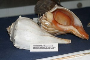 Knobbed Whelk OPS PS   158