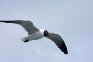 Laughing gull. a common sight when taking the Hatteras ferry from spring to early  fall. Photo by P. Vankevich