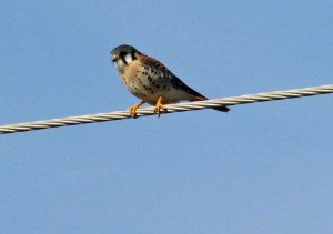 American Kestrel PS cropped on wire trim